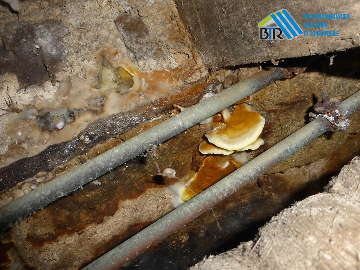 carpophore de mérule en fructification et voile mycélien