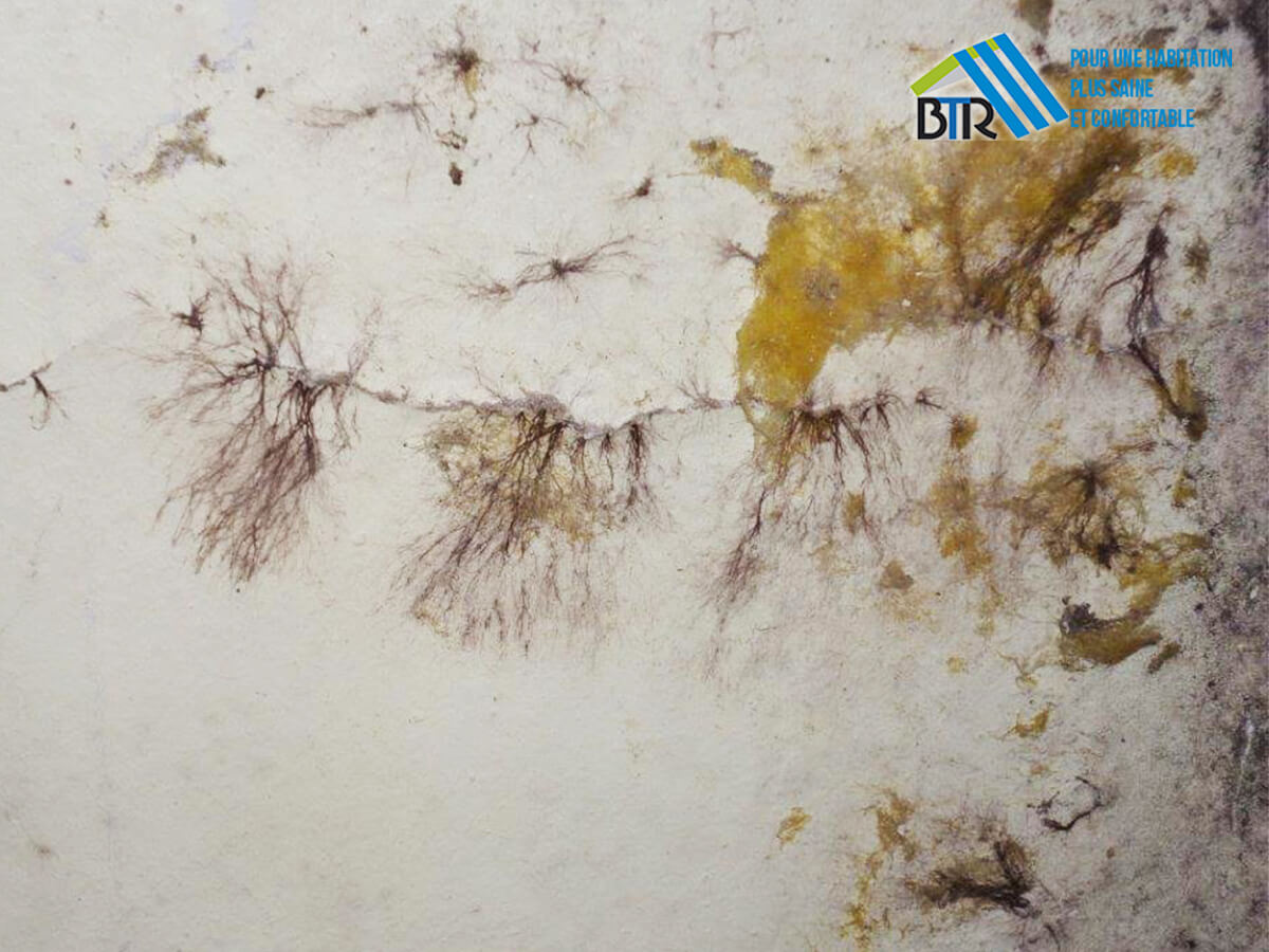 cordonnets de mérule sortant du crépi