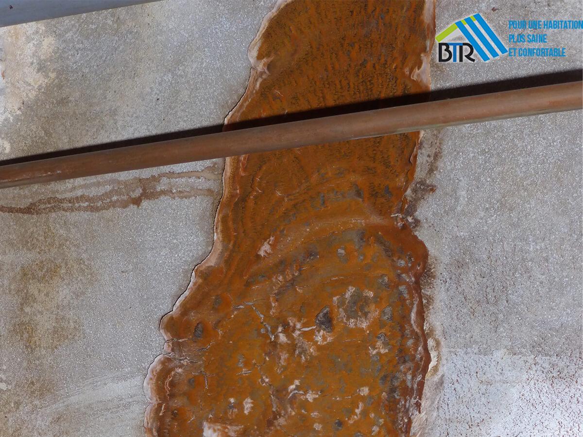 mérule en fructification avec mycélium après dégât des eaux