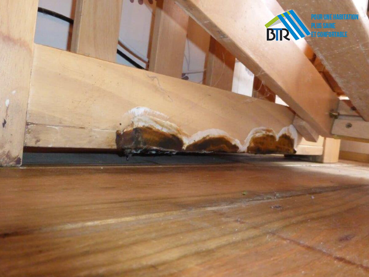 Présence de mérule sur bois intérieur sain