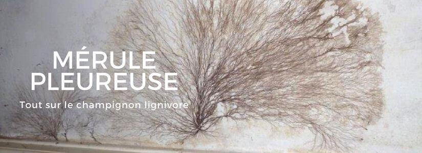 Le m rule un champignon lignivore merule pleureuse - Champignon de maison merule ...