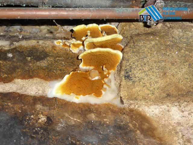 carpophore en fructification sur mur en sous sol